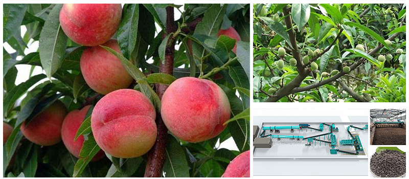 peach-cultivation-of-organic-fertilizer